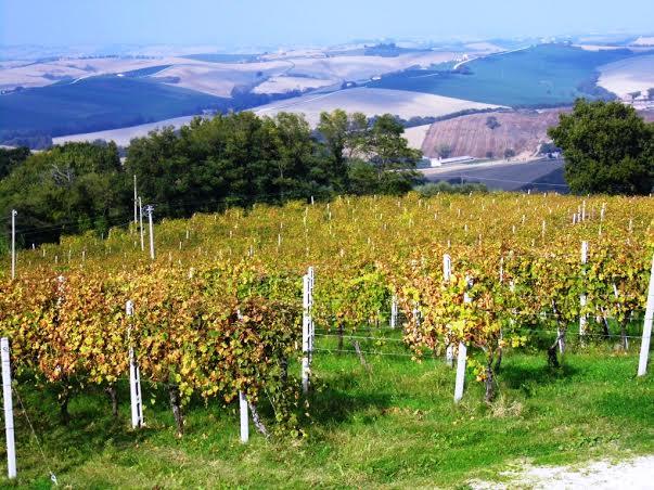 marche vigne